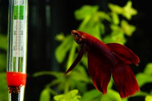 Betta Fish Tank Temp | Betta Fish Care Faq Lovetoknow