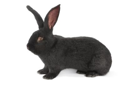 Black Flemish Giant