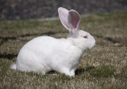 White Flemish Giant