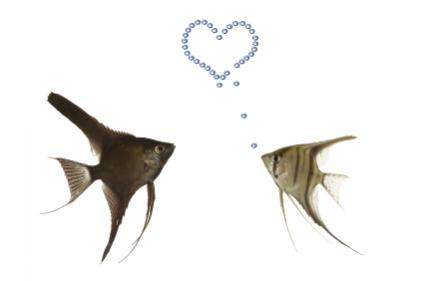Angelfish in love