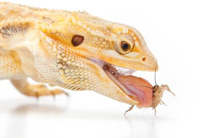 Bearded dragon eating