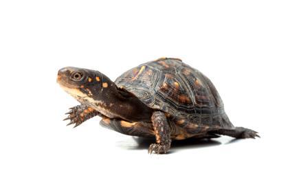 Types of Pet Turtles