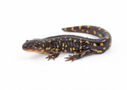 Tiger salamander; © Gerald Deboer | Dreamstime.com