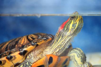 Red eared slider in water