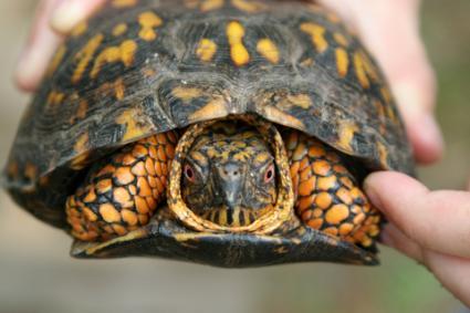 Pet box turtle