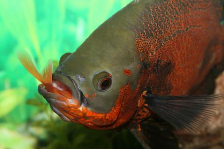 Oscar swallowing a fish; copyright Marcelo Saavedra at Dreamstime.com