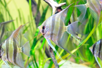 10 Facts About Angelfish Lovetoknow
