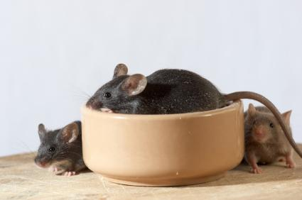 Mice checking out their food dish