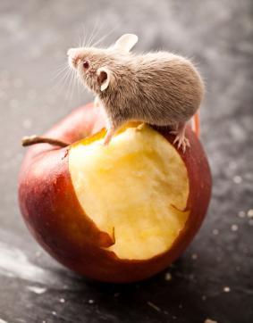 Mouse nibbling an apple