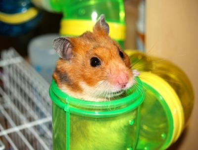 Hamster in a tube; copyright Cardiae at Dreamstime.com