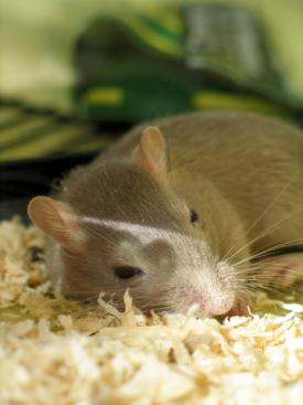 Gerbil taking a quick nap; copyright Lockstockbob at Dreamstime.com