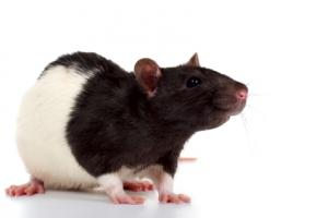 List of Rodents That Make Good Pets | LoveToKnow