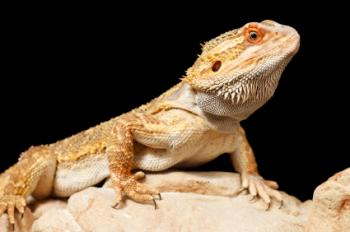 Bearded dragon perched on a rock