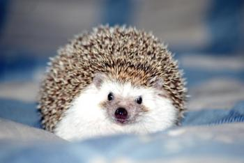 African pygmy hedgehog; copyright Susannahietanen at Dreamstime.com