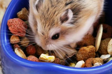 Hamster eating pellet mix