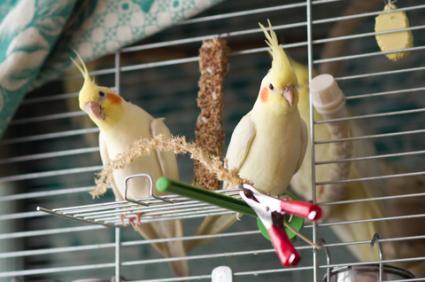 Pet cockatiels; © Darius Strazdas | Dreamstime.com