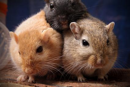 Trio of pet gerbils