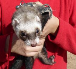 Holding a ferret