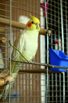 Pet lutino cockatiel