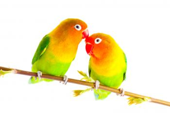 Pair of Fisher lovebirds