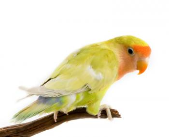 Peachface lovebird on a perch