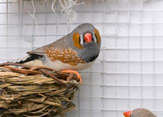 Male zebra finch perched on a nest