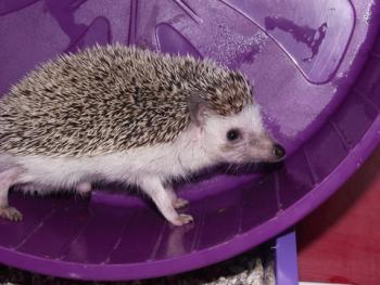 Hedgehog in an exercise wheel; © Netz67 | Dreamstime.com