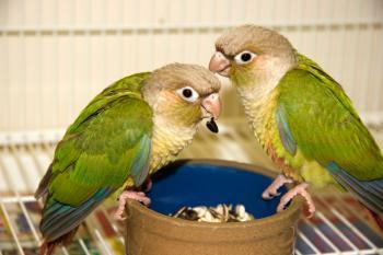 Cinnamon green cheek conures