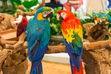 Blue and gold and scarlet macaws