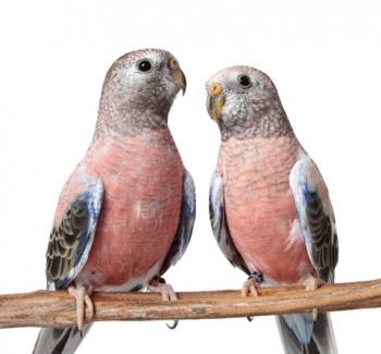 Bourke's parakeets; © Lee6713 | Dreamstime.com