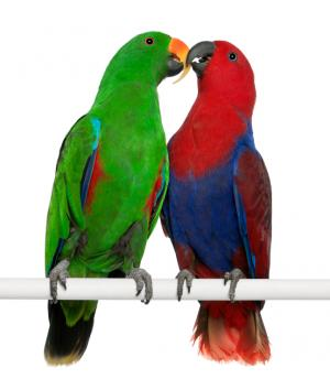 Male and female eclectus