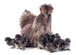 Partridge Silkie hen and chicks