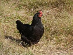 Australorp hen; © Inavanhateren | Dreamstime.com