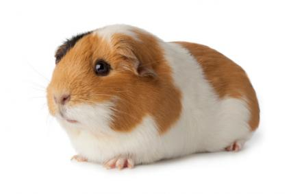 how to make your guinea pig not scared of you