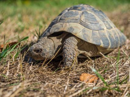 Mediterranean tortoise