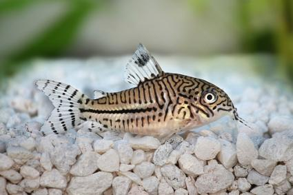 Leopard Cory Catfish
