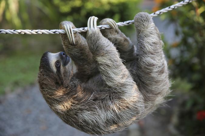Sloth on a rope