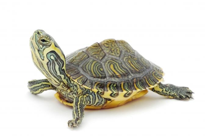 Names For Pet Turtles Lovetoknow