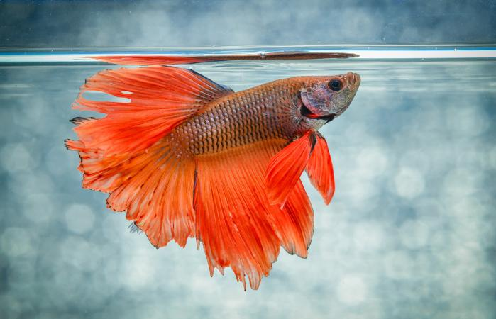 signs of betta fish illness lovetoknow