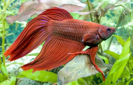 Aquarium Betta Splendens Mail