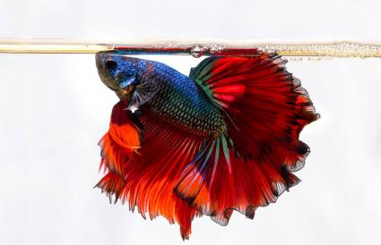 Siamese Fighting Fish Swimming