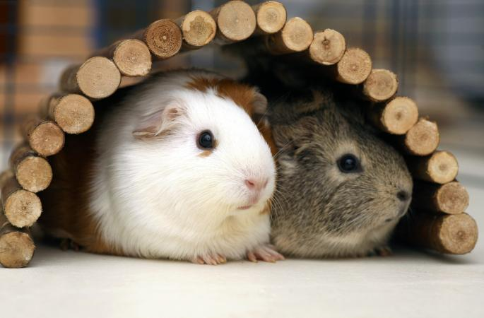 Guinea pigs in their hideout
