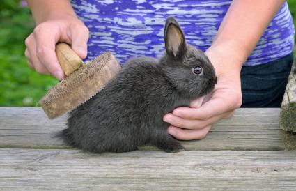 Brushing Rabbit