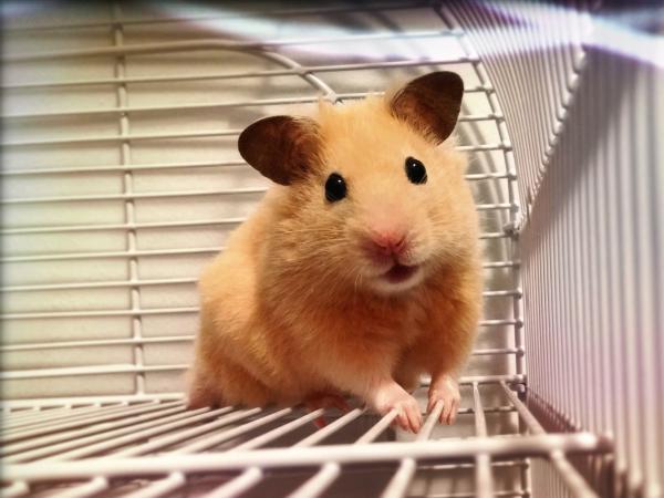 portrait of hamster in his cage