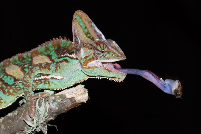 Veiled chameleon catching cricket with tongue