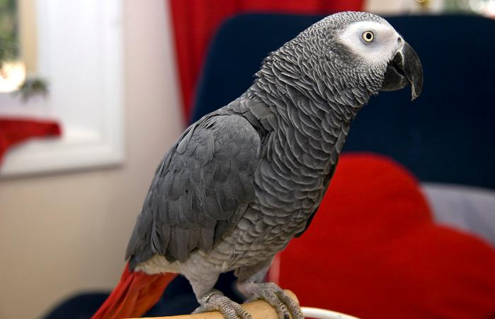 Image of a pet Congo African Grey parrot
