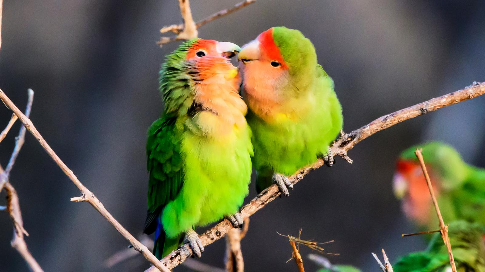 Why Bird Brain Shouldnt Be Considered >> Lovebirds As Pets Lovetoknow