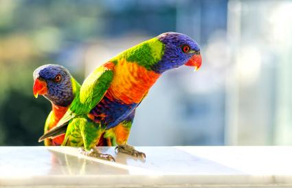 Rainbow Lorikeet birds