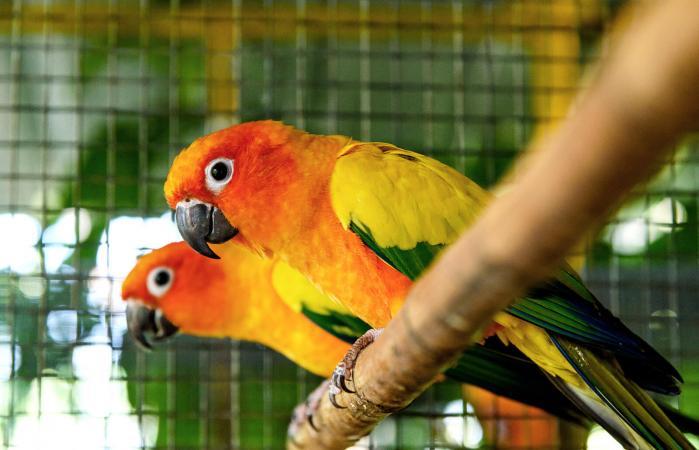 Sun Conure parrots