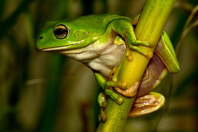 Green tree frog holding onto plant